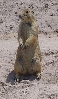 Mexican prairie dog.jpg