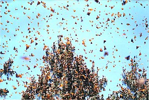Monarch Butterfly Biosphere Reserve - Monarchs in flight