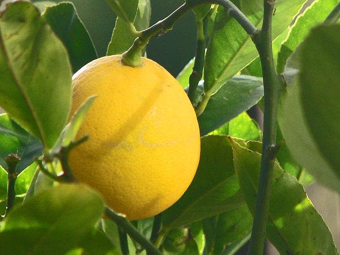 English: The Meyer lemon, Citrus × meyeri.