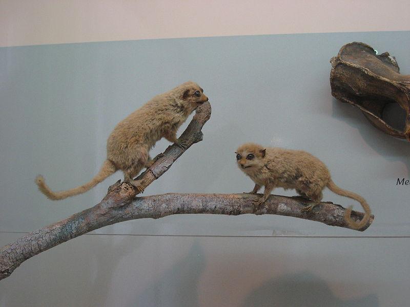 Microcebus rufus  naturalisé au Muséum d'histoire naturelle de La Réunion de Saint-Denis