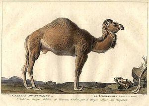 Simon Charles Miger - Image: Miger Camelus Dromedarius