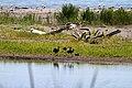 Mignattai (Plegadis falcinellus) - panoramio.jpg