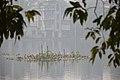 Migratory Birds - Santragachi Jheel - Howrah 2017-12-25 5673.JPG