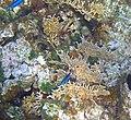 Millepora alcicornis (branching fire corals) (San Salvador Island, Bahamas) 1 (15896254488).jpg