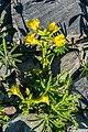 Mimulus guttatus at Lake Tekapo 03.jpg