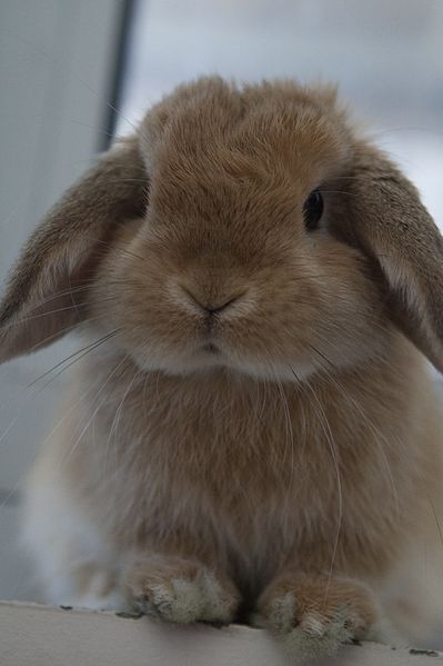 File:Miniature Lop.jpg