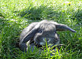 Miniature Lop - Grey.jpg