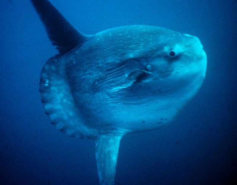 Typical swimming position of a sunfish