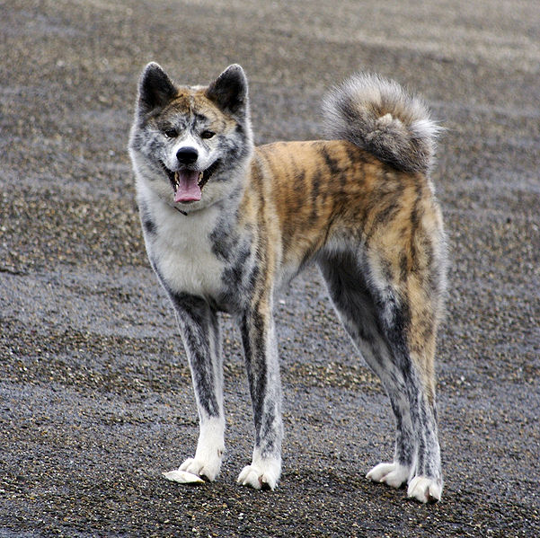 Can My Akita Have Dry Food Onnly