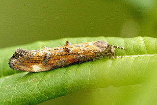 Momphidae