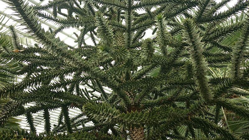 File:Monkey Puzzle Tree (Araucaria araucana) 1.jpg