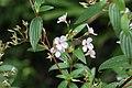 Monochaetum lineatum (Melastomataceae) (45235005114).jpg