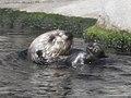 Monterey Sea Otter (15396958987).jpg