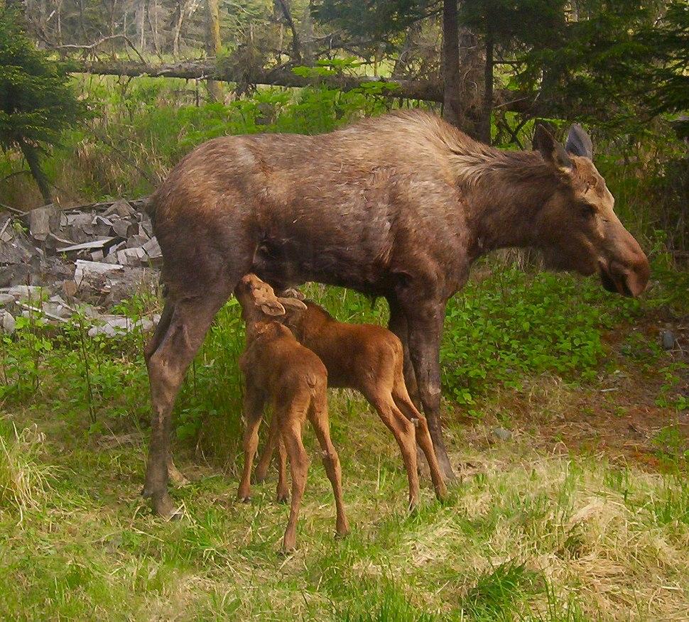 Moose calves nursing