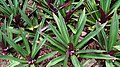 Moses in the cradle (Tradescantia spathacea) 5.jpg