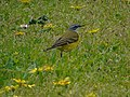 Motacilla flava iberiae.001 - Culleredo.jpg