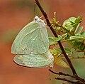 Mottled Emigrant (Catopsilia pyranthe) mating W IMG 9517.jpg
