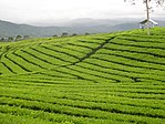 Mount-dempo-tea-plantation.jpg