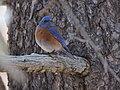 Mountain Bluebird (33178757694).jpg