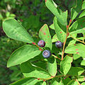 Mountain Huckleberry (14891688587).jpg