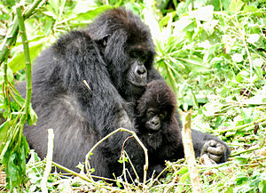 Eastern gorilla - Female with infant