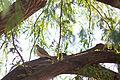 Mourning Dove (23202701739).jpg