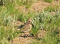 Mourning Dove on Seedskadee National Wildlife Refuge (28825333441).jpg