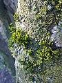 Mousse et lichen sur le tronc d'un cerisier sauvage à Grez-Doiceau 001.jpg