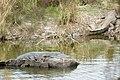 Mugger crocodile Crocodylus palustris (2156064360).jpg