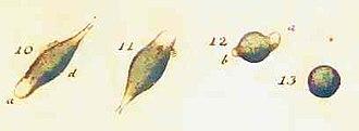 Euglena - Cercaria viridis (= E. viridis) from O.F. Müller's Animalcula Infusoria. 1786