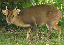 Male Reeves's muntjac at Dumbleton Hall
