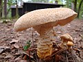 Mushrooms in front of the cabins - panoramio.jpg