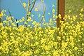 Mustard (Sinapis alba) - United States National Arboretum - (1).jpg