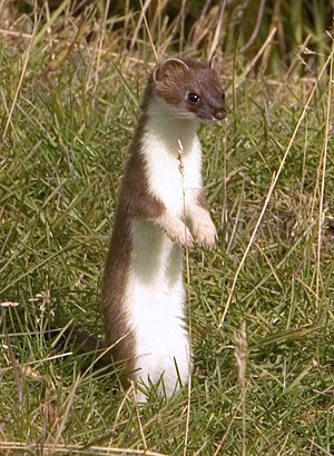 Stoat - Image: Mustela erminea upright