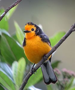 Myioborus ornatus - Abanico cariblanco - Golden-fronted Whitestart (8872557662).jpg