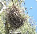 Myiopsitta monachus calita 3.JPG