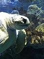 Myrtle the Green Sea Turtle 09.jpg