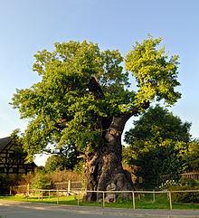 Thümmeleiche in Nöbdenitz (Quelle: Wikimedia)