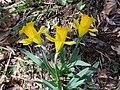Narcissus eugeniae 2.jpg