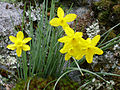 Flowers of Narcissus rupicola