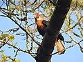 Narcondam Hornbill DSCN2147 11.jpg
