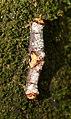 Nationalpark Jasmund Stubnitz Phalera bucephala.jpg