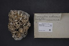 240px naturalis biodiversity center   rmnh.mol.177074   tenagodus weldii tenison woods, 1876   siliquariidae   mollusc shell