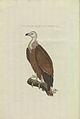 Nederlandsche vogelen (KB) - Gyps fulvus (korteinhoud008).jpg