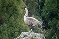 Nene or Hawaiian Goose Hakalau NWR HI 2018-12-02 12-53-16 (31223370497).jpg