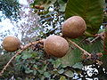 Neocarya macrophylla 0009.jpg