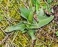 Neotinea ustulata in Aveyron (6).jpg