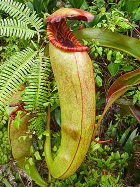 Nepenthes bokorensis upper.jpg