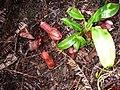 Nepenthesgracilissumatrana.jpg