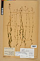 Neuchâtel Herbarium - Camelina microcarpa - NEU000022959.jpg